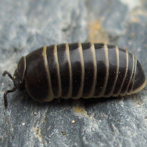 Pillbugs