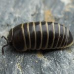 Pillbugs
